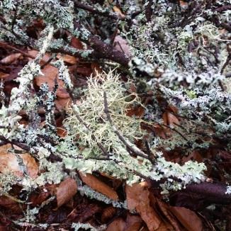 Boreal oakmoss on a tree branch