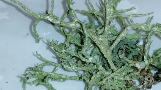 Close up of boreal oakmoss
