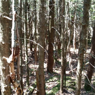 balsam thicket