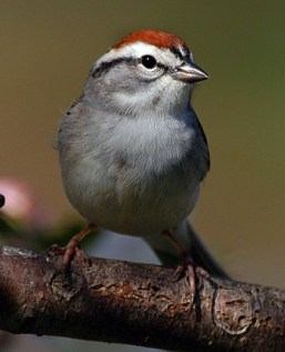 chipping_sparrow_1