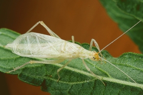 snowy-tree-cricket