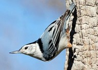 white_breasted_nuthatch_glamour1