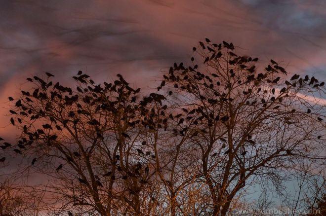 tb-crows-2