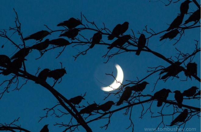 tb-crows-3