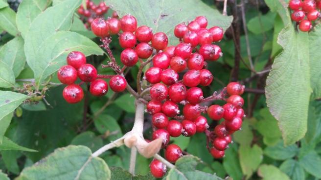 Hobble-bush